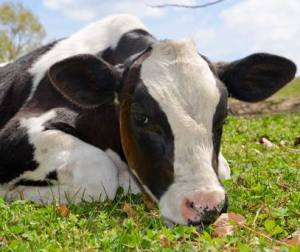 mavs cow